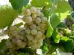 Grape at Indian Creek Winery near Kuna, Idaho - Home of the Hermit Music Festival